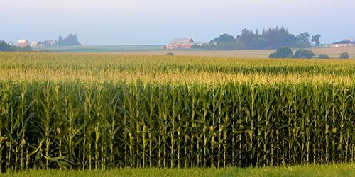 Corn Field image - Crop Lending available at West Iowa Bank