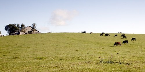Cattle in field. Livestock Loans available at West Iowa Bank